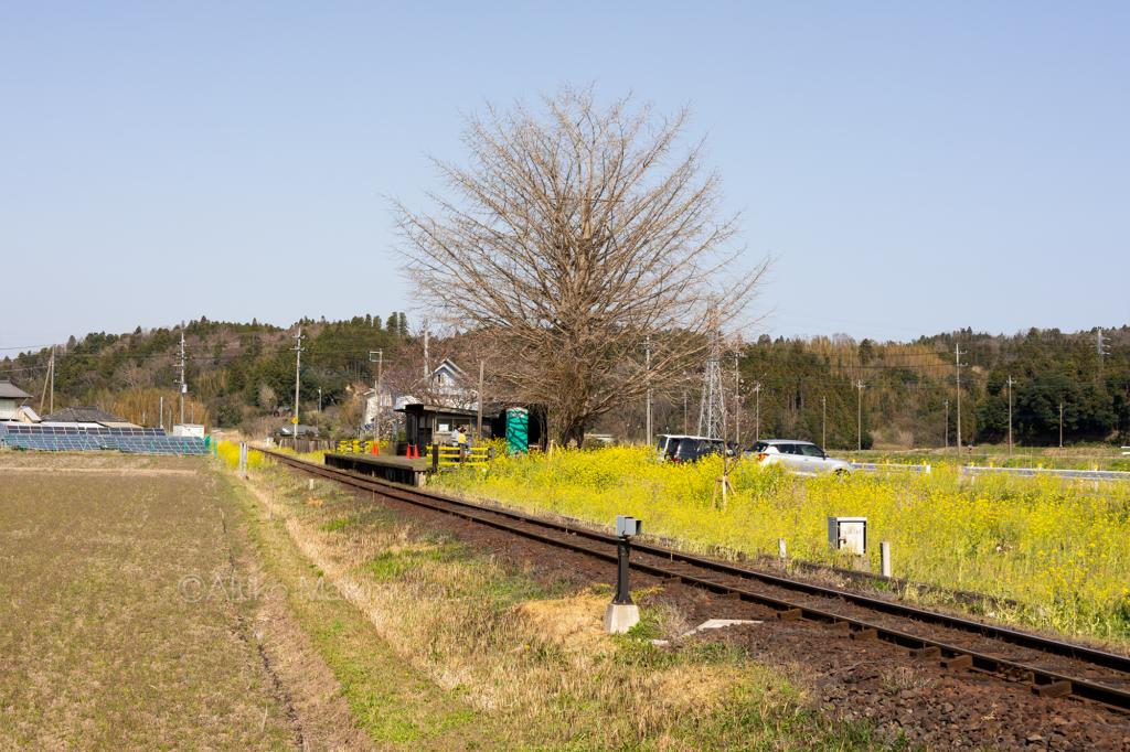 菜の花の咲く小湊鉄道の上総久保駅