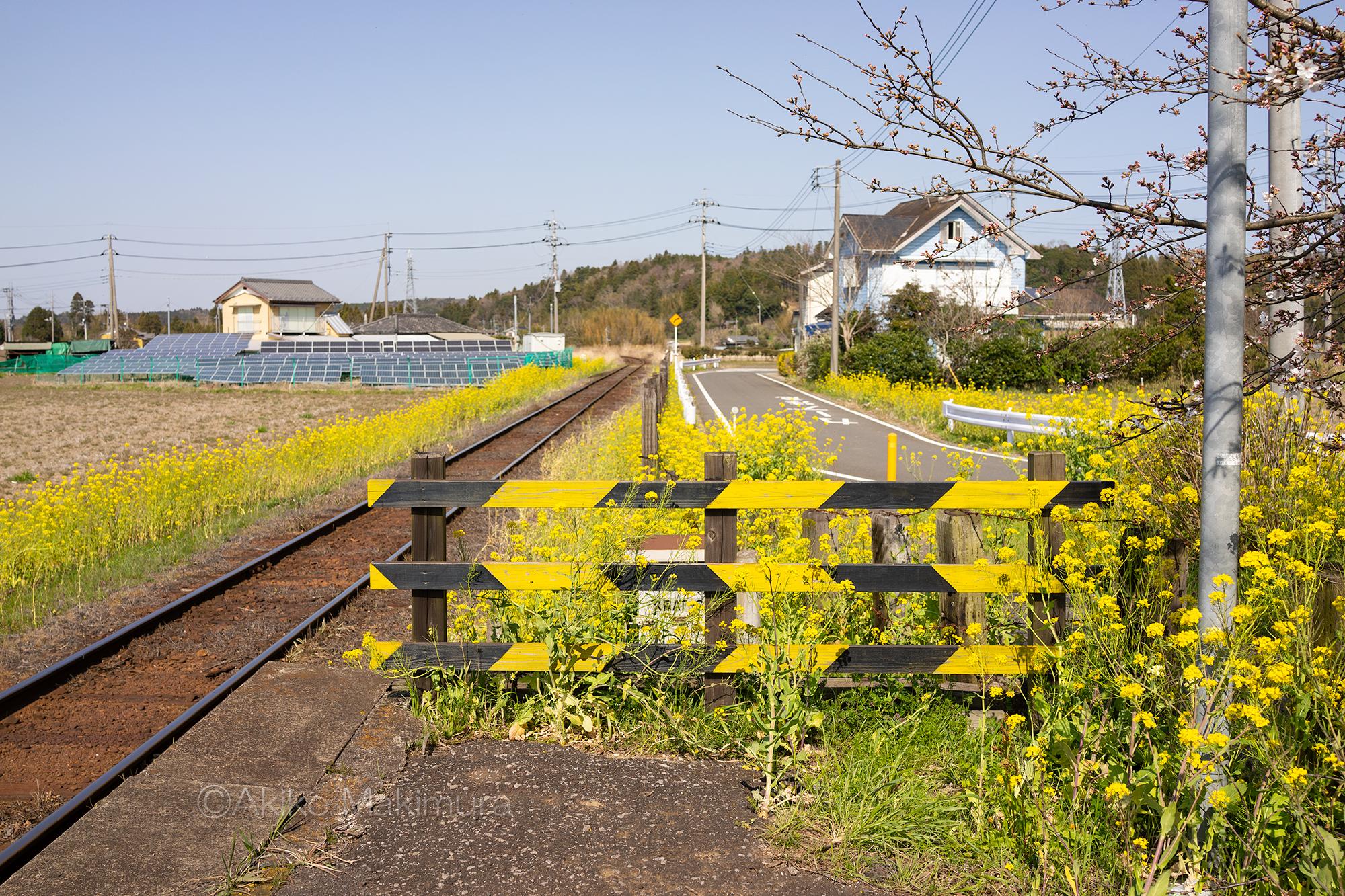 菜の花が咲き乱れる小湊鉄道の上総久保駅は無人駅です